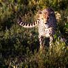 Cheetah on thhe move