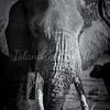 Big Tusker portrait