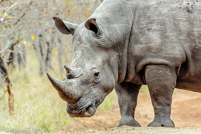 Rhino Head Shot