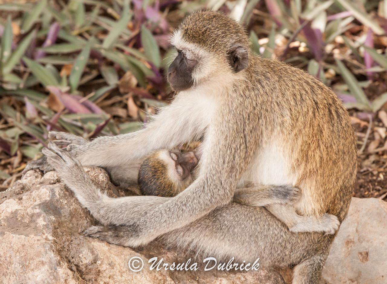 Sleepy Mom - The baby has fallen asleep while nursing, and the mom is starting to doze off herself.  Vervet Monkeys, Kenya