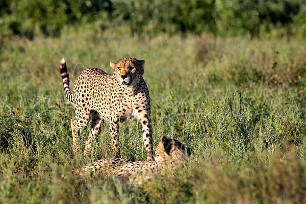 Cheetah Brothers 2