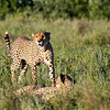 Cheetah Brothers 2