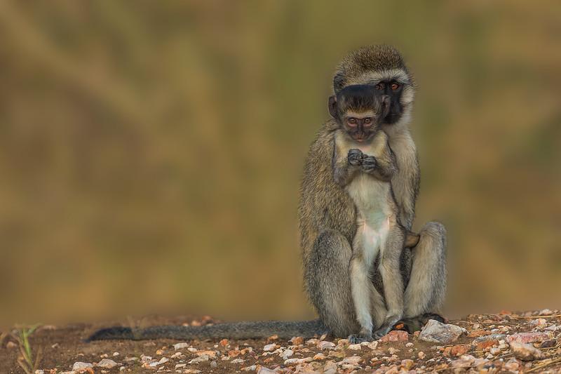 Black Faced Monkeys