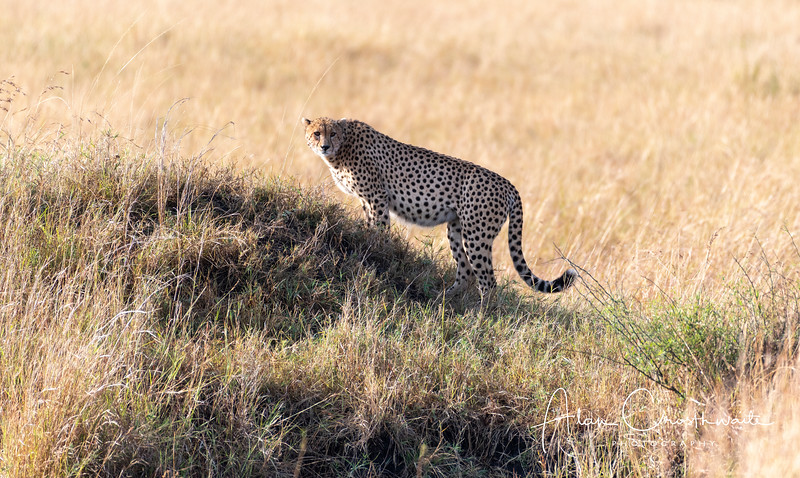 Cheetah on an ant hill