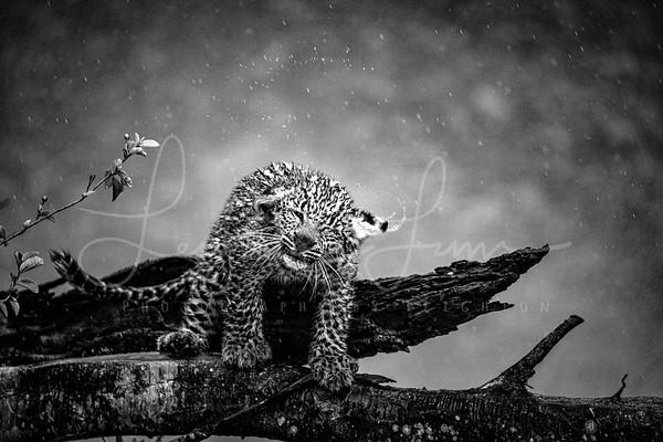 Shake it off Leopard