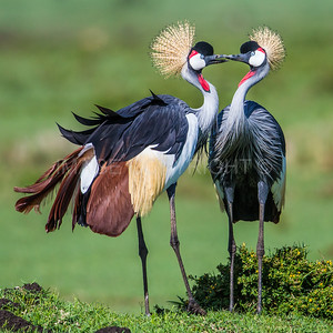 Two Crested Cranes in Love