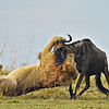 Lion killing a wildebeest