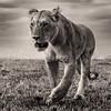 Stalking female lioness bnw