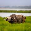 Ambolseli buffalo