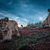 Lewa cubs updated