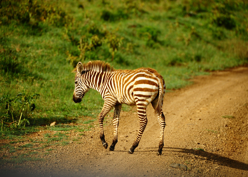 Zebra herds have to constantly be on the lookout for food. They are a nomadic species that follows the seasons and eat what they can. As a nomadic creature, they do not have specific territories.