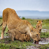 Mom and Cubs Drink