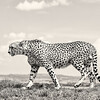 Cheetah profile bnw