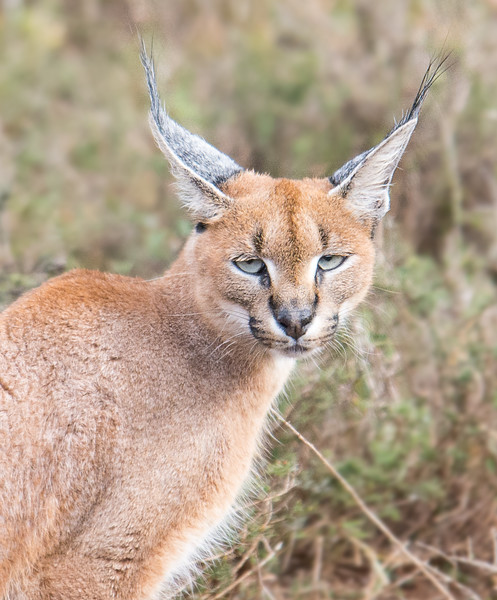 Caracal, Addo Elephant National Park, South Africa