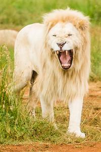 20170104_Lion_005