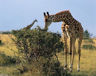 Kenya, Masai Mara National Reserve/ Foraging Giraffes, Masai race, Giraffa camelopardalis.  804H3