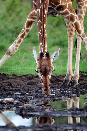 Reticulated Giraffe getting a drink