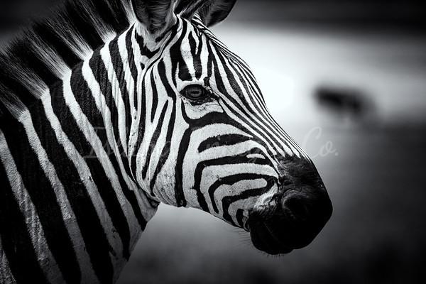 BNW Zebra