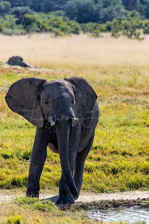Baby Hwange Elephant