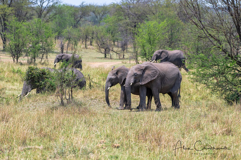 Elephants in Serengeti National Preserve
