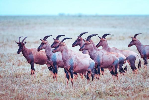 Toppy Herd
