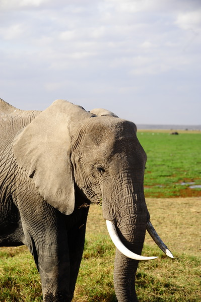 In addition to poaching, elephants are facing many difficult factors. They are losing their habitats--and ancient migratory routes--due to expanding human settlements, plantation development and the construction of infrastructure such as roads, canals and pipelines.
