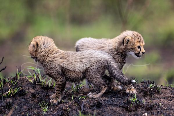 Baby cheetah cub 4