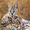 Serval Cat Mothers Love 3