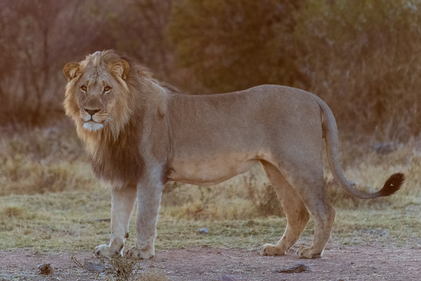Early morning Lion...