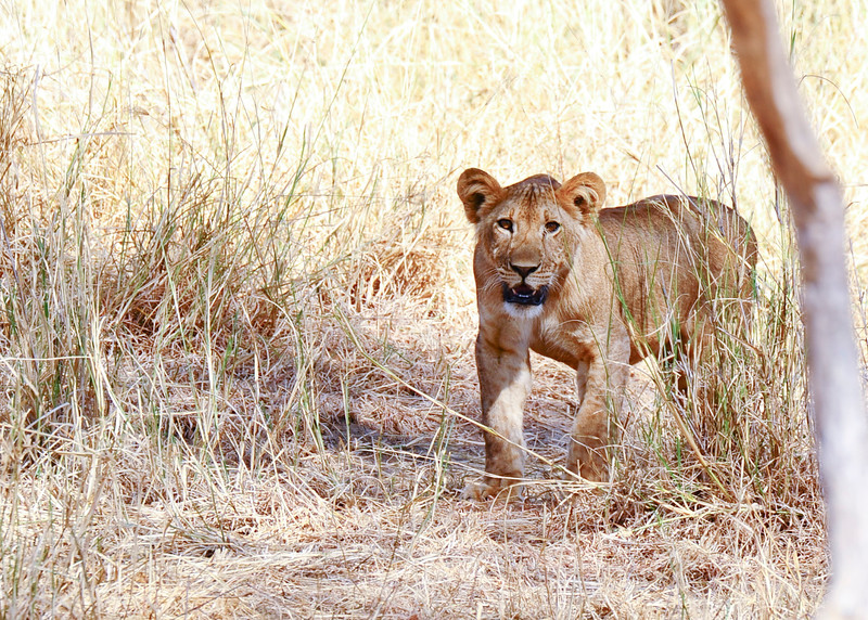 Lions are considered to be the second-largest living cat species after the tiger.