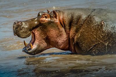 Hippo Smiles