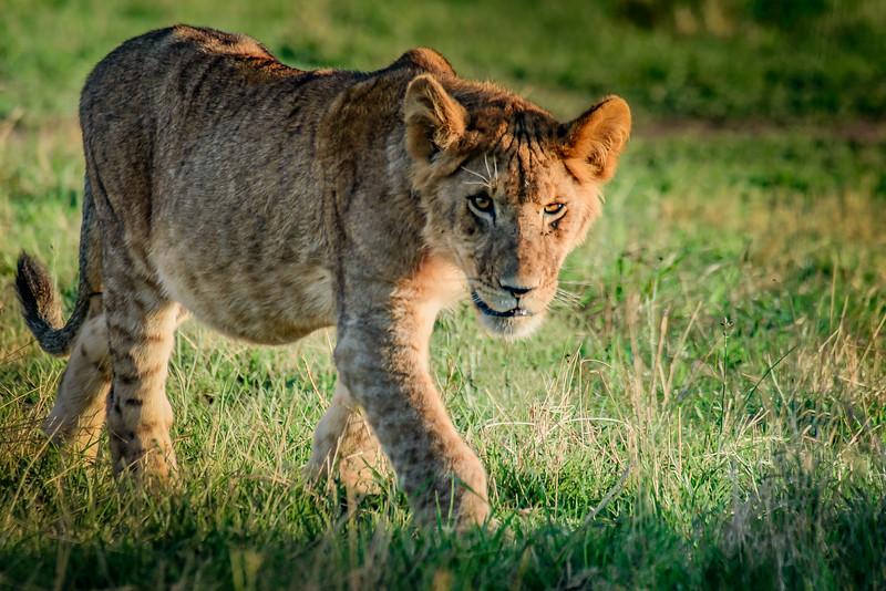 lion cub 0952
