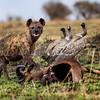 Hyena on a kill 3