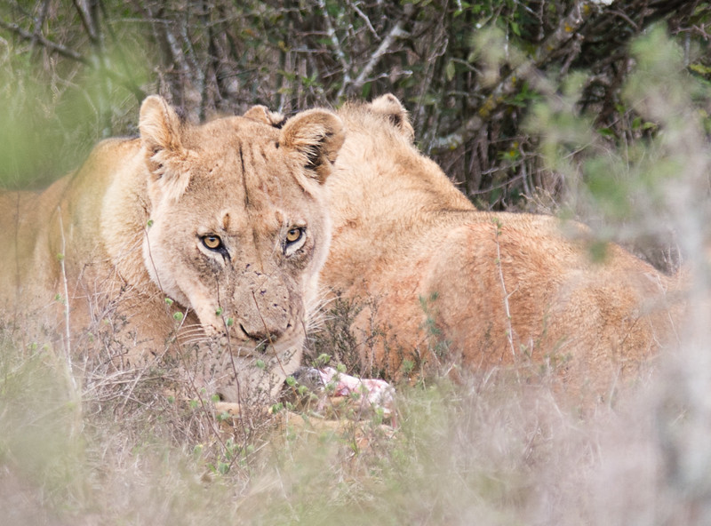 Lionesses with a fresh kill, Addo Elephant National Park, South Africa