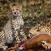 Cheetah family 6