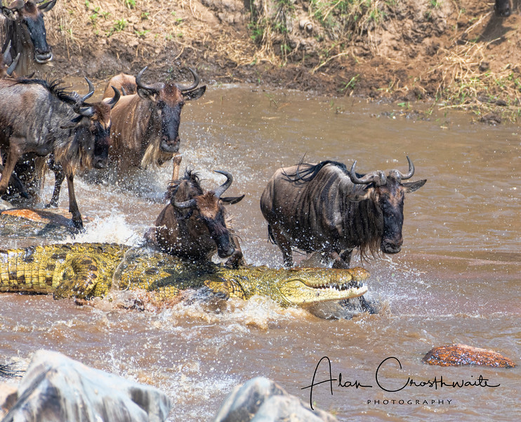 Wildebeests encounter a huge 16 foot crocodile during a mass crossing in the Mara river, Tanzania, Africa, 2019.