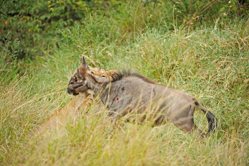 Lion attacking a wildebeest