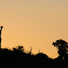 Giraffe against the skyline at sunset, South Africa