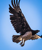 Martial Eagle.  Near Flat Dogs Camp, Mfuwe Zambia