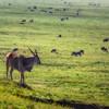 Antelope Ngorogoro