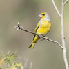 Cape Canary, South Africa