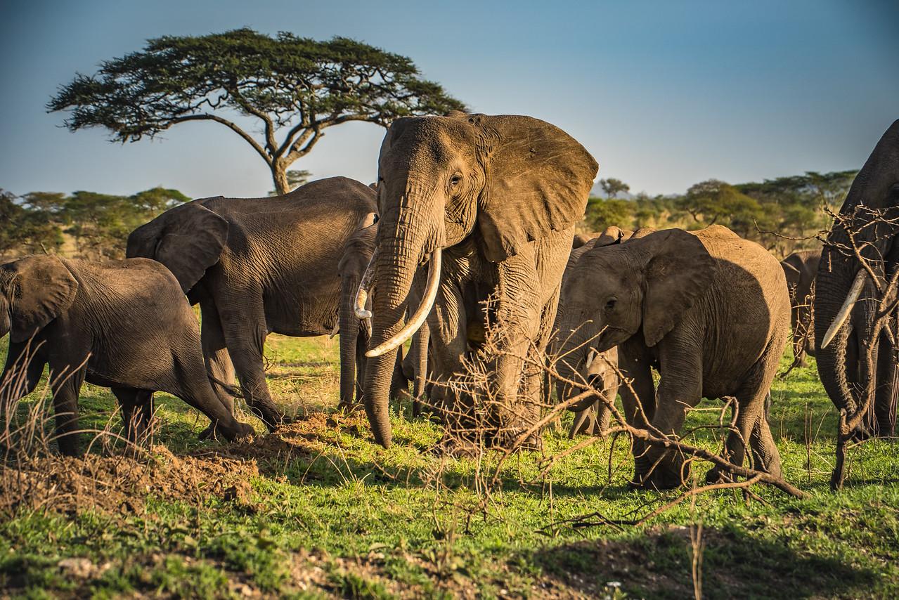 Elephant Herd 9934