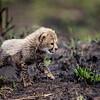 Baby cheetah cub 2