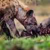 Hyena on a kill