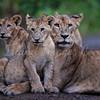Lake Nakuru lions