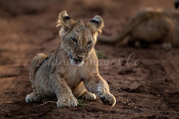 Lewa Cubs
