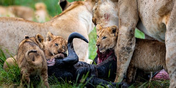 Lion Feast 1x2