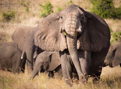 Bull Elephant Protecting his Family, Kenya