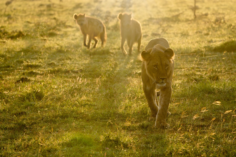 A lioness with hyenas and the rising sun at her back