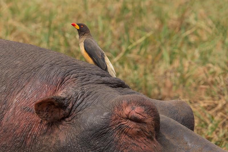 Oxpecker & Hippo